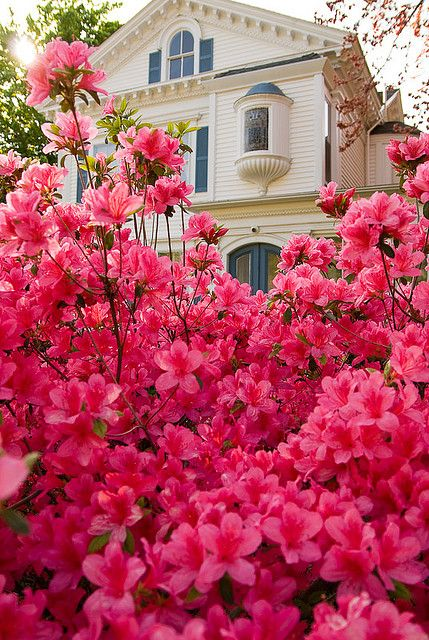 "Lovely Flowerbed of Azaleas, Tyler and East Texas are known for beautiful displays of flowers.  Tyler celebrates Spring & Azaleas with annual ""Azalea Trails"": Pink Flowers, Lovely Flowerbed, East Texas, Pink Azaleas, Beautiful Flowers, House, Garden, Spring, Gorgeous Azalea"