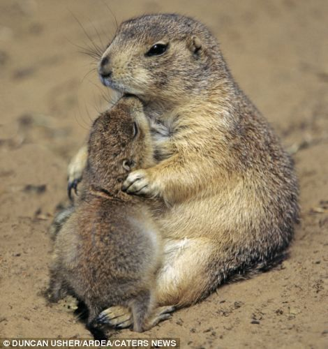 PRAIRIE DOGS LIVE IN ABUNDANCE IN THE BASIN OF THE COLUMBIA AND HIGH DESERTS OF EASTERN OREGON AND WASHINGTON