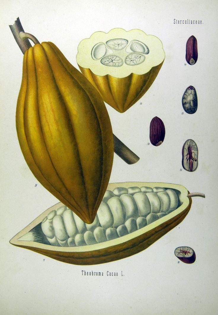 Kakaobaum. B Frucht, nat. Grösse; 11 dieselbe im Längschnitt, desgl.; 12 dieselbe im Querschnitt, desgl.; 13, 14 Same, desgl ; 15, 16 derselbe im Längs- und Querschnitt, desgl.; 17 Same ohne Samenschale, desgl.