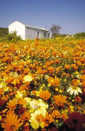 Places to view wild flowers in the Northern Cape this spring