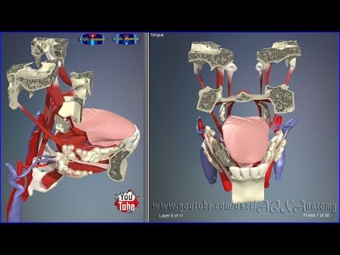 Tongue Muscles & Parts   3D Human Anatomy   Organs