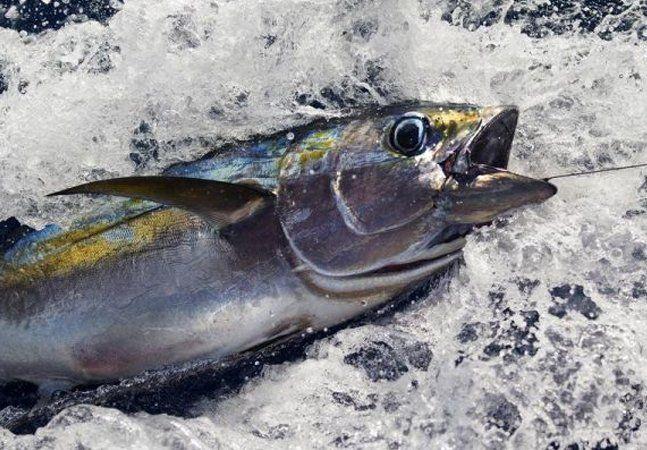 Uma das mais consumidas e desejadas iguarias do mundo, o atum é um peixe valioso não só para a alimentação humana, mas principalmente para o equilíbrio do ecossistema marinho. O consumo desenfreado, a demanda em constante ascensão e as práticas destrutivas de pesca estão ameaçando o atum e diversas outras formas de vidas ao seu redor. São muitas as espécies de atum ameaçadas, correndo o risco de em pouco tempo enfrentarem a extinção. Como se não bastasse, os métodos de pesca do atum matam…