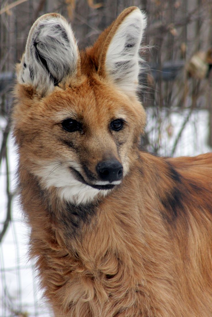 """Maned wolf - The maned wolf (Chrysocyon brachyurus) is the largest canid of South America. Its markings resemble those of foxes, but it is not a fox, nor is it a wolf, as it is not closely related to other canids. It is the only species in the genus Chrysocyon (meaning """"golden dog""""). It is however a canid, and therefore related to the wolf. Maned wolves are more closely related to the forest fox and the bush dog (canid species from South America)."""