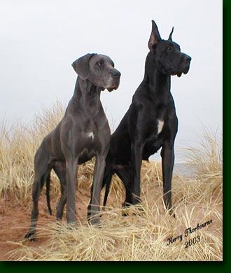 <3/Blue Great Dane-natural ears/ Black Great Dane with cropped ears.