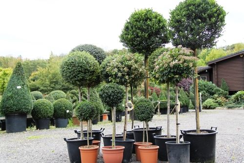 Mixed Topiary standards