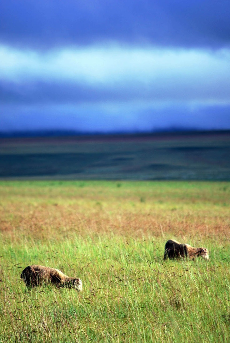 Sheep, Free State, South Africa