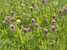 Comment semer le trèfle, un engrais vert utile au potager ? Conseils de jardinage en vidéo d'Hubert le jardinier.