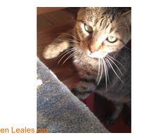 FITO GATO SEGOVIANO POSITIVO  #Adopción #adopta #adoptanocompres #adoptar #LealesOrg  Contacto y info: Pulsar la foto o: https://leales.org/animales-en-adopcion/gatos-en-adopcion/fito-gato-segoviano-positivo_i2364 ℹ   FITO  Me abandonaron en una colonia controlada. Soy muy bueno y cariñoso y los demás gatos me pegaban. Me trajeron a Lara dónde vuelvo a dormir en un lugar calentito y tengo comida todos los días aunque me quieren mucho yo echo de menos un hogar. Necesito muchos mimos. Tengo2…