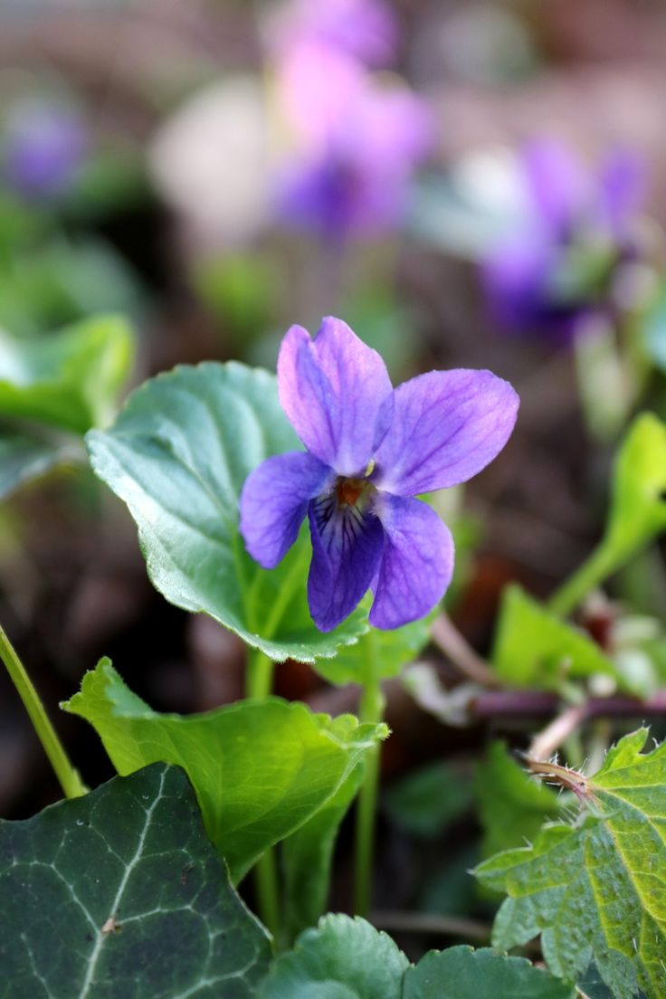 Remembering the days we picked violets for our May altar, Mary.  Such sweet memories! <3