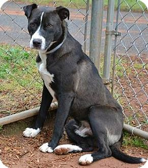 ★12/20/14 SL!!★ •GA• SUPER URGENT - TO BE EUTHANIZED SOON - Meet Felix - a Border Collie Mix for adoption in Athens, GA. Medium sized dog. I have a super gentle & calm temperament and I am good as gold. Contact Athens Clarke County Animal Control, Dog ID No. 38358. Phone: (706) 613-3540 to adopt this handsome well behaved dog. Wednesday is euthanasia day so please act.