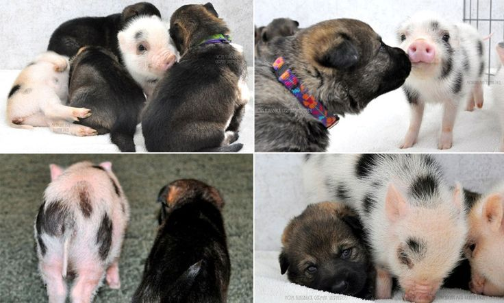 Piglets and puppies are happy to muck in together for playtime #DailyMail
