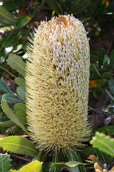Saw Banksia (Banksia) ~ Another Banksia plant with unique flower is the Banksia serrata. This plant is commonly known as Old Man     Banksia, Saw-tooth Banksia and Red Honeysuckle. This plant is endemic to Australia.