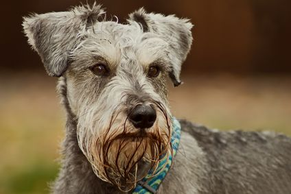 Find Out If The Miniature Schnauzer Temperament Is A Good Fit for You