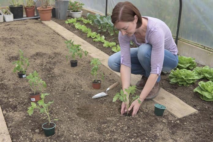 So Setzen Sie Ihre Tomatenpflanzen Richtig Tomaten Pflanzen Tomatenpflanzen Garten Pflanzen