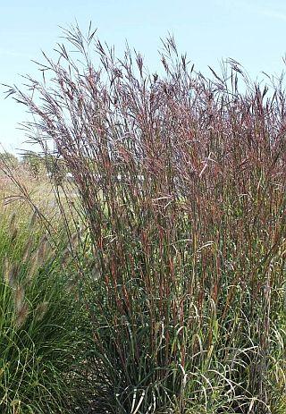 "Andropogon gerardii ""Big Bluestem Grass"" Full Sun Mesic/Dry Mesic 4-6ft"