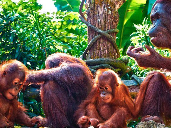 Copyright, 2016. Natalie Uscinas. Orangutans at Singapore Zoo.