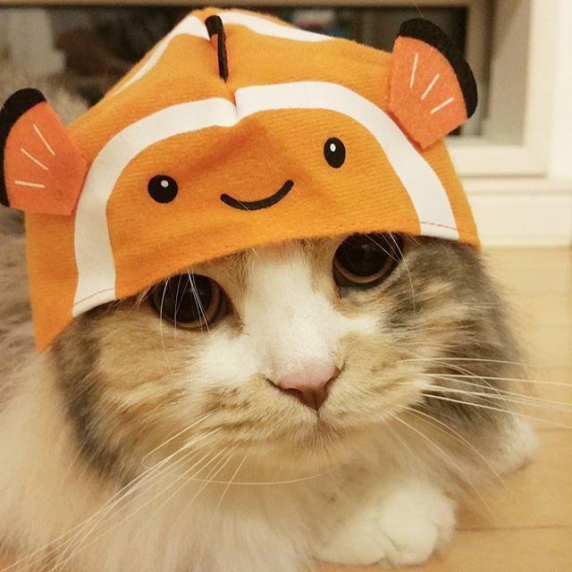 可愛いのが出ましたぁ🐠❤ ・ #猫の水族館#ガチャガチャ#クマノミ #かぶりもの#ねこのかぶりもの#かぶりもの猫 #猫#ねこ#ネコ#スコティッシュフォールド #ふわもこ部#ねこ部#ねこら部#ペコねこ部  #ピクネコ#ねこのきもち #にゃんだふるらいふ#にゃんすたぐらむ #猫のいる暮らし#猫との時間 #癒し#たまらん#可愛いすぎ #猫写真#愛猫#ラテ