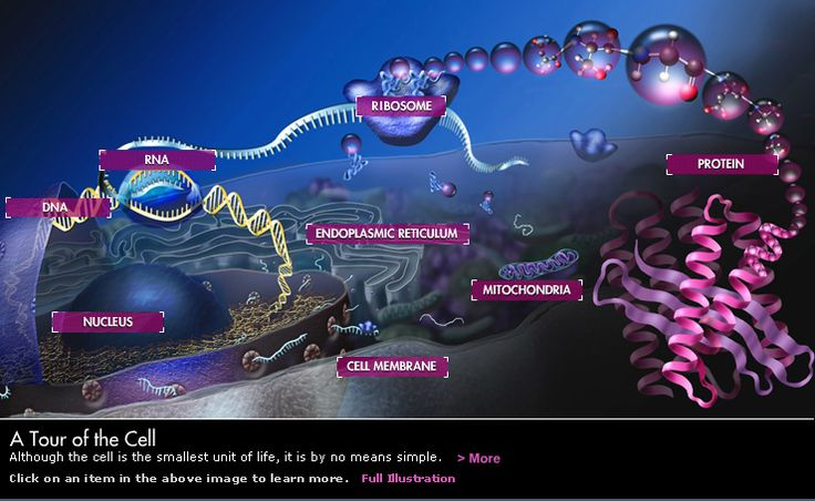 A Tour of the Cell - Although the cell is the smallest unit of life, it is by no means simple. Click on an item in the above image to learn more.