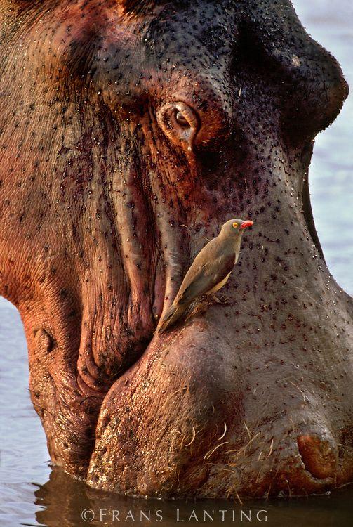 oxpecker bird and hippopotamus relationship marketing