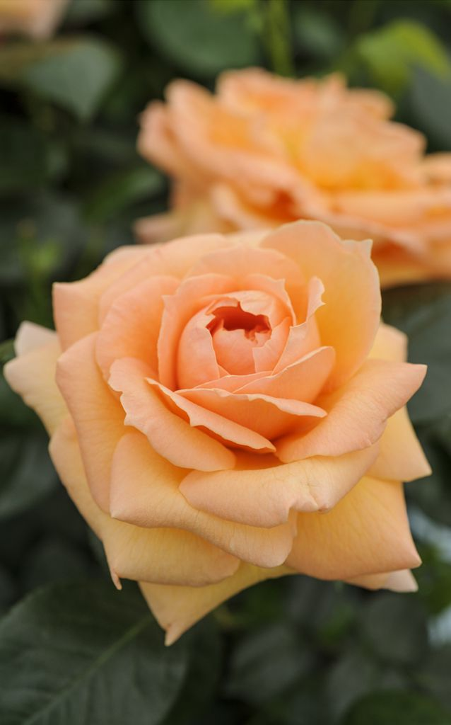 Scented roses: 'Lady Marmalade' is a floribunda rose with a spicy scent that will flower in flushes from summer to autumn. Discover the 5 keys ways to grow better roses http://www.gardenersworld.com/plants/features/flowers/five-ways-to-grow-better-roses/1096.html Photo by Jason Ingram