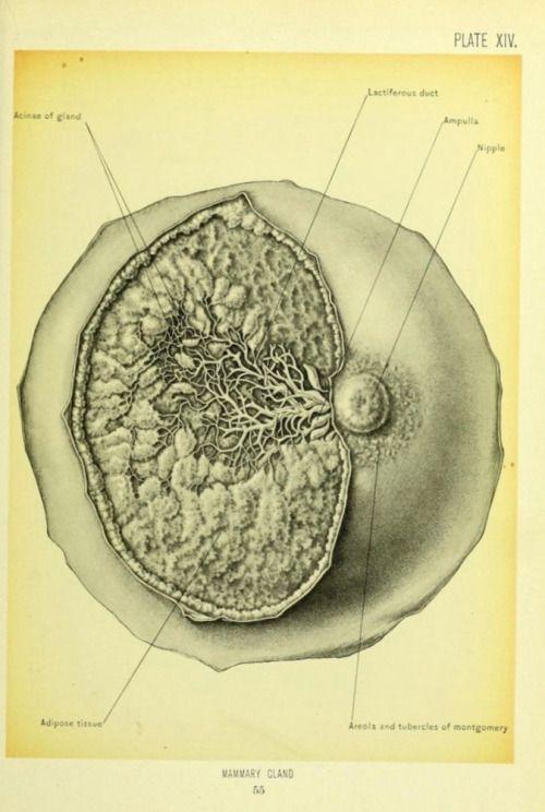 Mammary gland anatomy