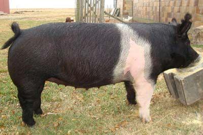 hampshire pigs | hampshire pig