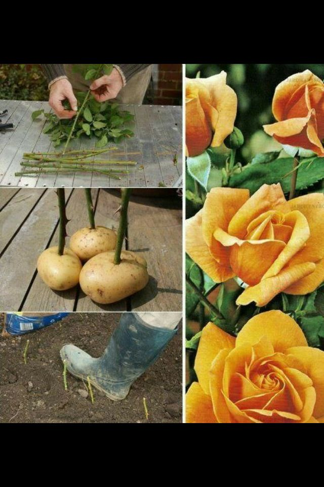 Cómo plantar rosales