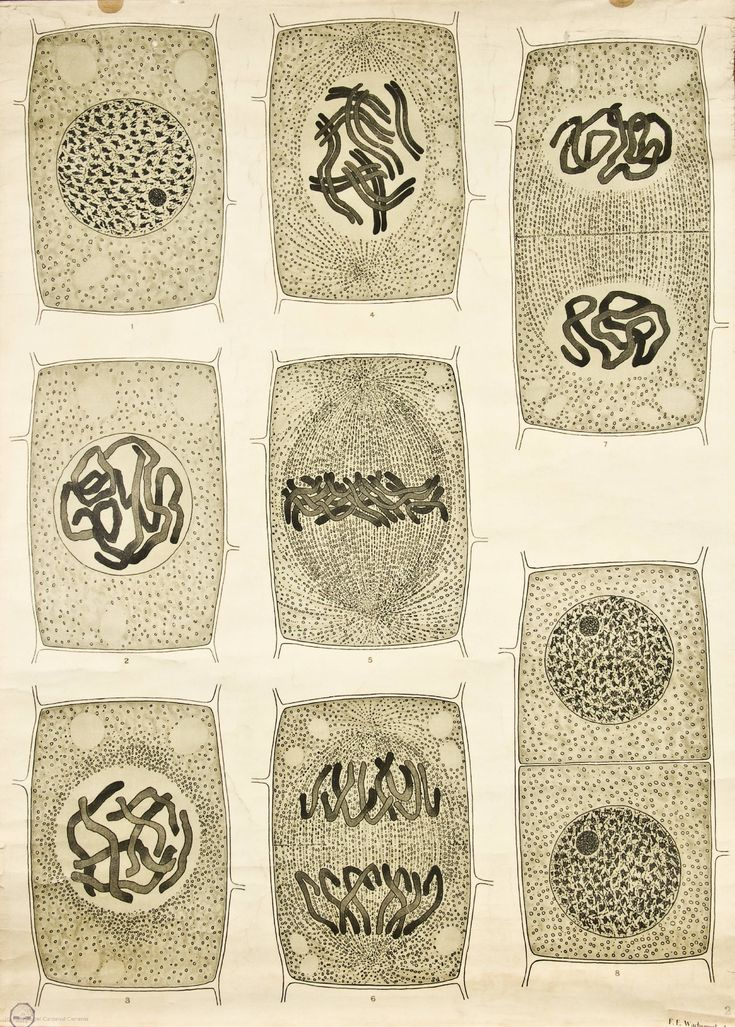 Más tamaños | Visualising the Cell Nucleus -- Anatomia Vegetal 1929, pub. by FE Wachsmuth a | Flickr: ¡Intercambio de fotos!