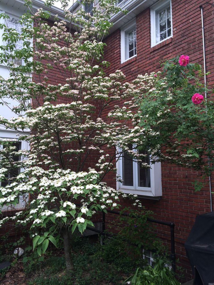 Dogwood and climbing rose- May 16, 2015