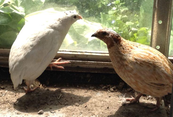 My quails