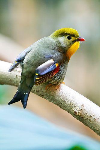 Pekin Robin. Species:L. lutea Binomial name Leiothrix lutea (Scopoli, 1786); Genus:Leiothrix;  Family:Leiothrichidae ; Order:Passeriformes Family:Leiothrichidae