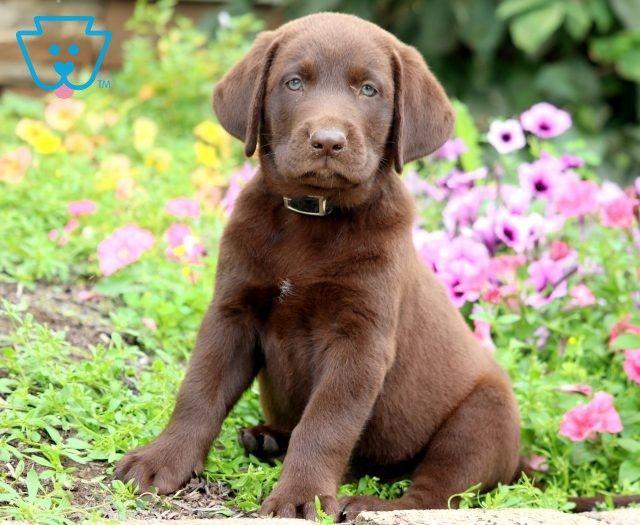 Cookie Labrador Retriever Chocolate Puppy For Sale Keystone Puppies Labrador Retriever Cute Labrador Puppies Lab Puppies