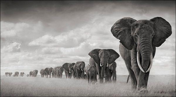 nb_elephantsmovingthroughgrass-08_lr