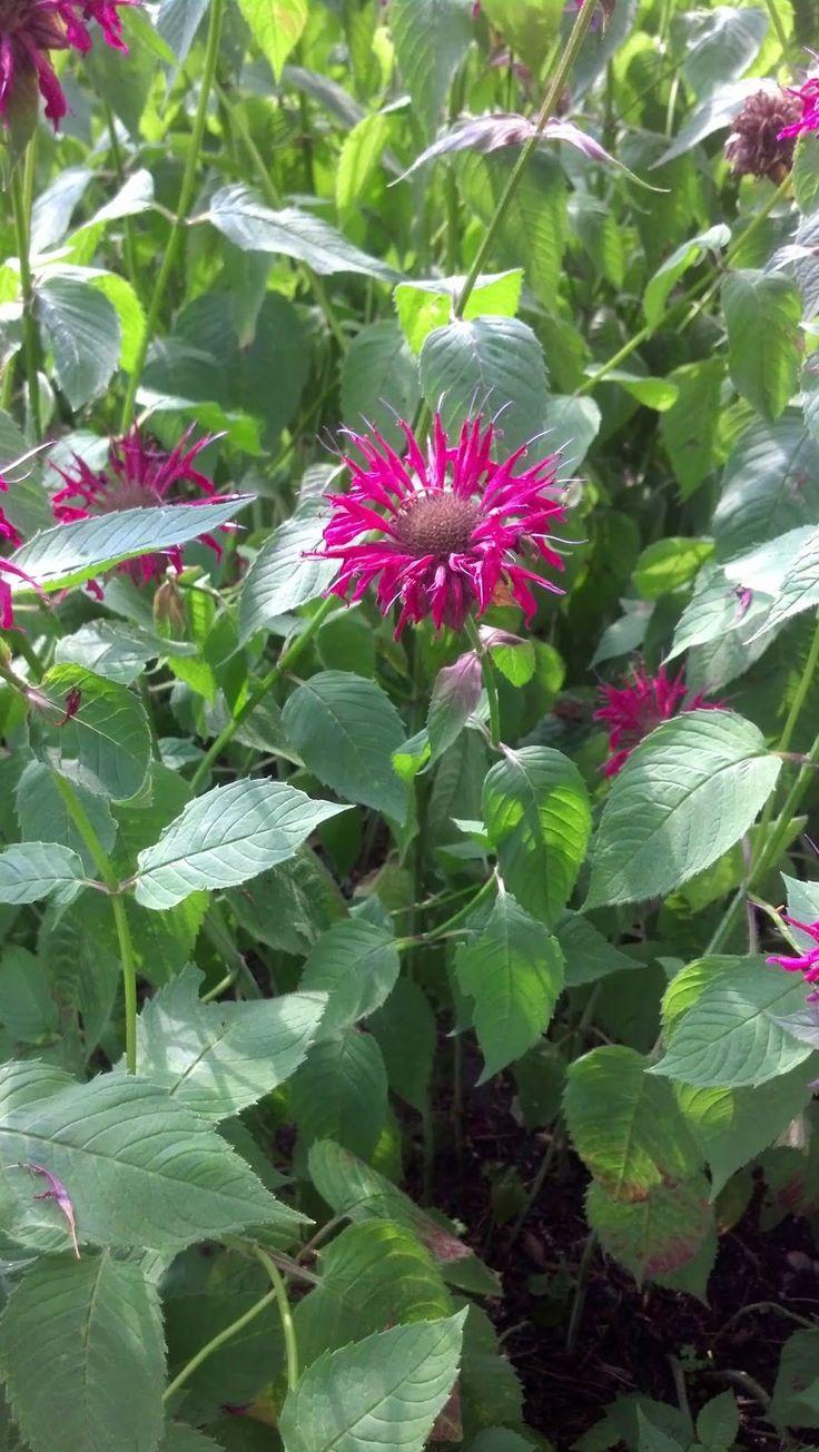 24 best the herb garden images on pinterest herb garden herbs