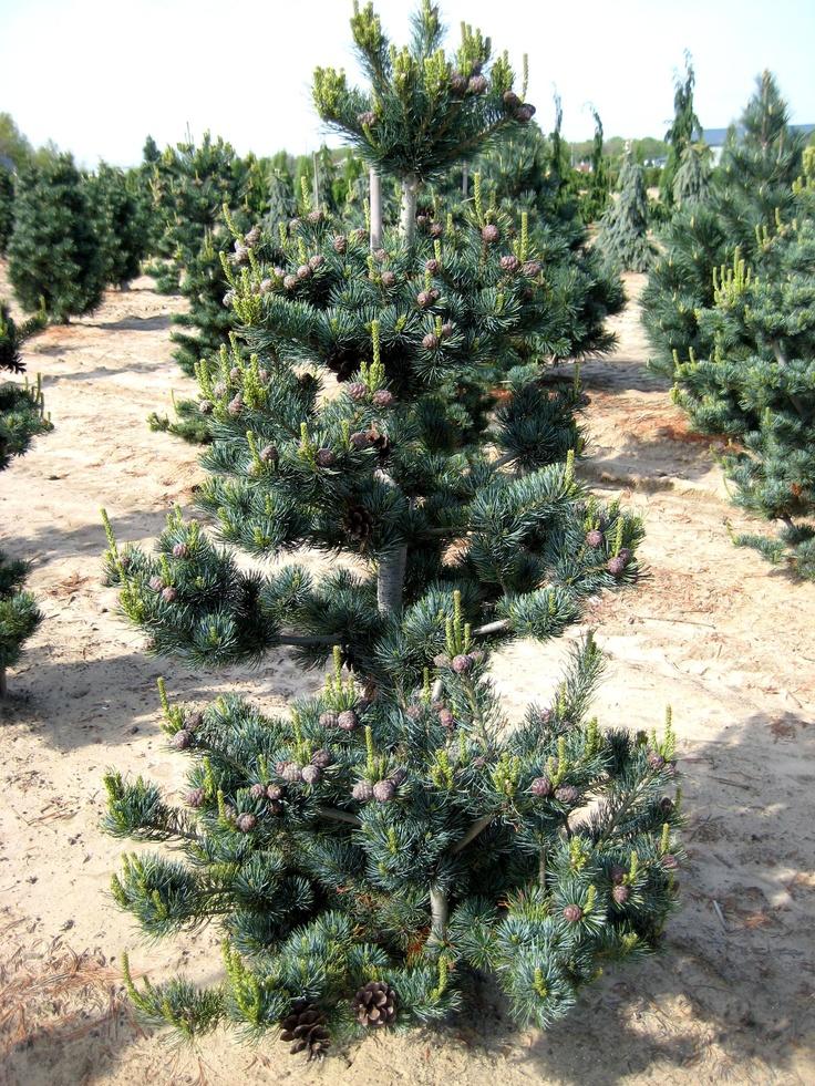 Pinus Parviflora Glauca Nana Gorgeous Gardens