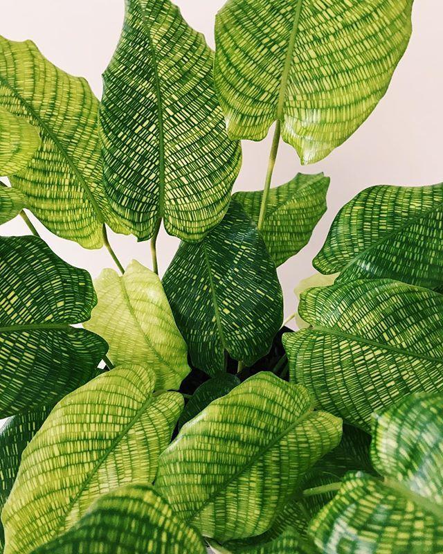 Calathea Musaica Network Indoor Plants Names Plants Calathea Plant