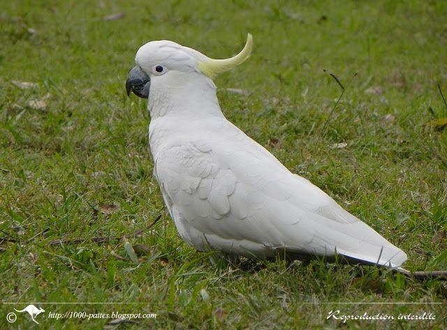 1000 PATTES - 1000 TRACKS: Oiseaux australiens et PBFD