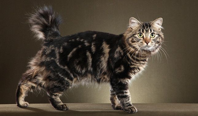 The American Bobtail is a medium-size, muscular cat weighing seven to 16 pounds. His somewhat shaggy coat may be long or medium in length and can be any color or pattern.   www.vetstreet.com