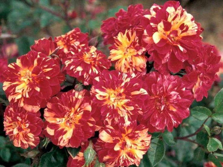 Роза бордюрная Бигуди, фото 1