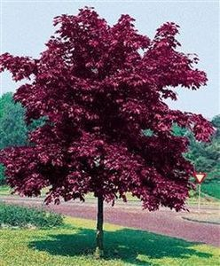 Crimson King Maple :) is going to be the favorite tree in my daughters front lawn! Happy Mothers Day, Love you.