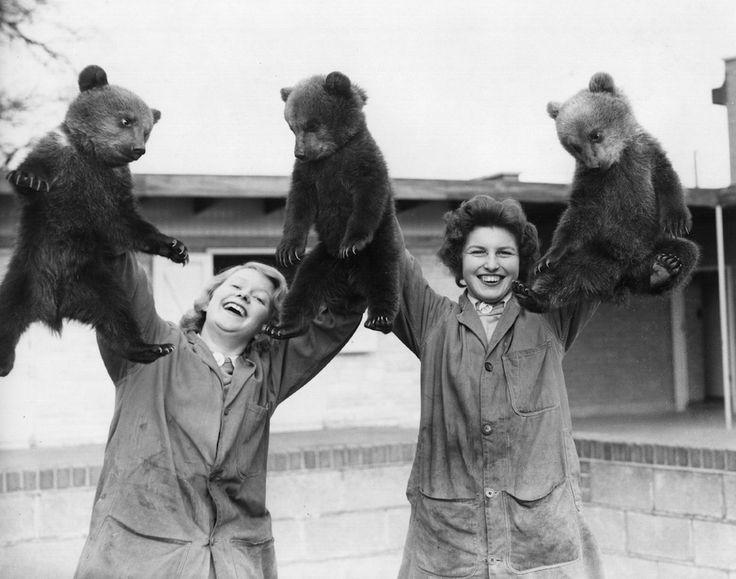Tre orsi bruni sono presentati allo zoo di Whipsnade, nel Regno Unito, il 27 marzo 1959, in occasione del loro debutto pubblico. (William Vanderson/Fox Photos/Getty Images)