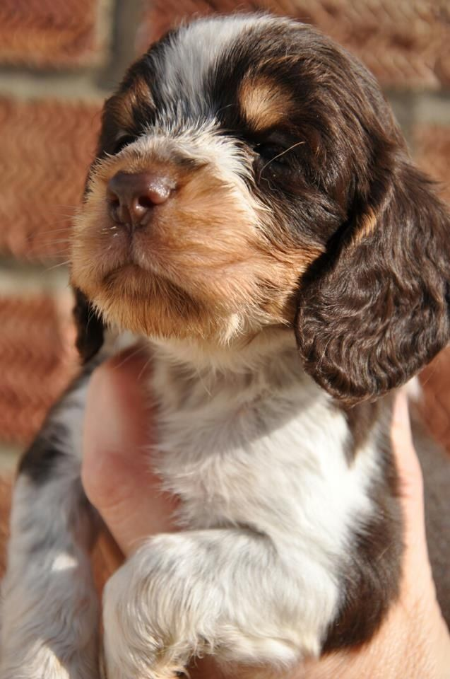 Chocolate and Tan Roan Cocker Spaniel Pup