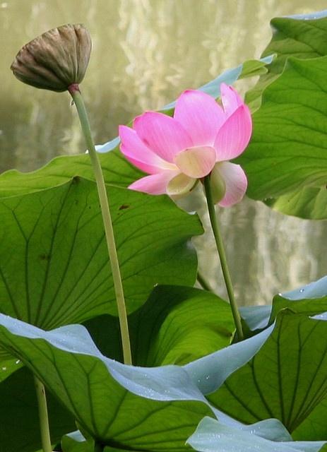 Lotus Nelumbo nucifera.   Japanese Garden, Lotusland. Montecito, CA