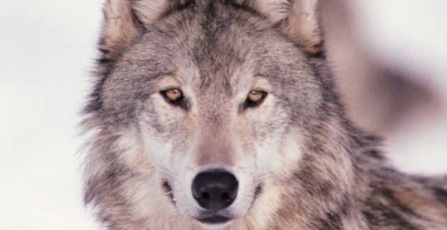 Grey Wolves Should be Protected, Not Hunted!