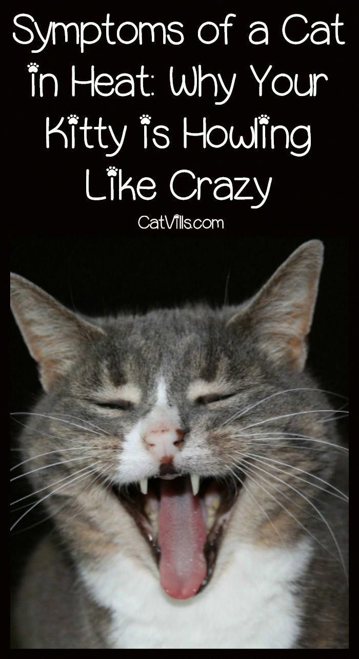 Symptoms Of A Cat In Heat Why Your Kitty Is Howling Like Crazy Catvills Cat In Heat Cats Cat Behavior