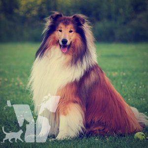Collie Irkı güzel, zarif, sevgi dolu ve ailesine sadık bir köpek olarak bilinir. Film aktörü Lassie sayesinde popüler olup kısa sürede…