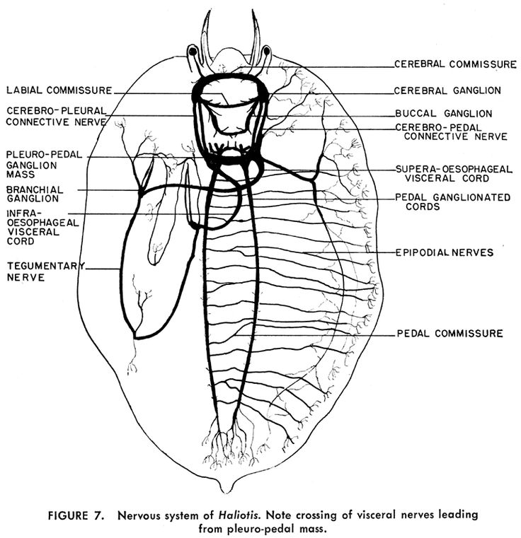 Diagram Parts Of A Turtle: 145 Best Brain Evolution Images On Pinterest