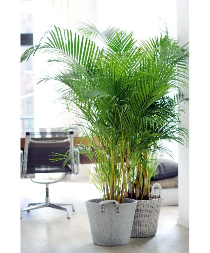 Areca Palm - A great living room plant that loves indirect sunlight by a window, the Areca Palm is consistently rated one of the best houseplants for removing indoor air toxins. Plus it's a great humidifier and easy to care for.