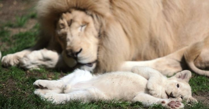 Filhote de leão branco descansa com o pai, o leão Yabu, no Zoológico de LA Fleche, na França.  Fotografia: Jean-François/AFP.