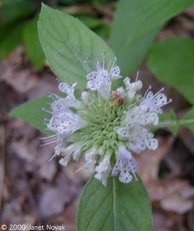 Basil Mountain-mint  Pycnanthemum clinopodioides    Basil mountain-mint is an endangered plant in Connecticut. The photos show a cultivated plant.    • Family: Mint (Lamiaceae)  • Habitat: dry fields, dry open woods  • Height: 12-30 inches  • Flower size: 1/4 inch long, on disk-shaped heads around 1 inch across  • Flower color: white to pale lavender  • Flowering time: July to September  • Origin: native
